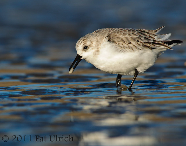 Sanderling with prey