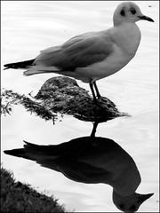 Reflecting (* RICHARD M) Tags: reflection nature water birds mono gull ornithology southport seagul merseyside sefton heskethpark