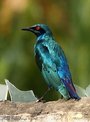 Lesser Blue-eared Glossy Starling (Lamprotornis chloropterus) (Rosa Gamboias/ on vacation) Tags: blue naturaleza bird nature birds animals azul fauna reflections wildlife natureza ngc birding pssaro starling natura aves bleu uccelli pjaros ave animais ornithology birdwatching pssaros reflexos reflets oiseau oiseaux reflejos avifauna thegambia vidaselvagem estorninho ornitologia lamprotornischloropterus gmbia lesserblueearedglossystarling rosagambias senegambiahotelgarden
