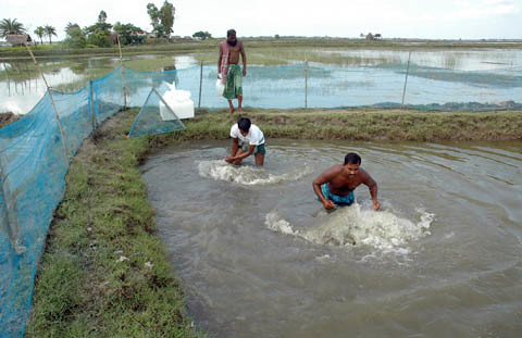 Releasing fingerlings into the pond, Bangladesh. Photo by WorldFish, 2008