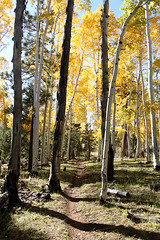 Flagstaff Fall Colors (Mountain Bike Ray) Tags: arizona tree pine hiking trail flagstaff hart aspen prarie