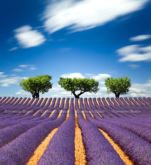 Lavender field, France - Explored :) - (Beboy_photographies) Tags: france fleur field bravo lavender mauve 5d provence pause nuage lavande arbre olivier champ longue valensole beboy colorphotoaward 5dmarkii flickrstruereflection1 flickrstruereflection2 flickrsfinestimages1