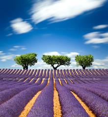 Lavender field, France - Explored :) - (Beboy_photographies) Tags: france fleur field bravo lavender mauve 5d provence pause nuage lavande arbre olivier champ longue valensole beboy colorphotoaward 5dmarkii flickrstruereflection1 flickrstruereflection2 flickrsfinestimages1