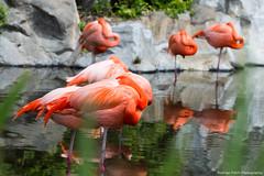 Flamingos (Rodrigo Folch) Tags: orange bird nature argentina birds buenosaires flamingos aves ave naranja flamencos temaikn folch rodrigofolch rodrigofolchcomar