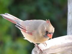 DSC01269 (rhombidec) Tags: female cardinal baltimore sonydschx100v