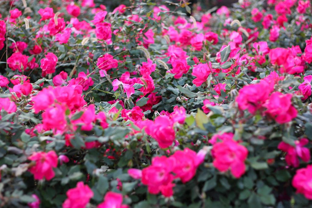 posing roses