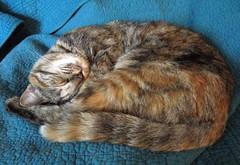 Sleeping Yoda (elycefeliz) Tags: sleeping cats yoda kittens gatos viva katzen
