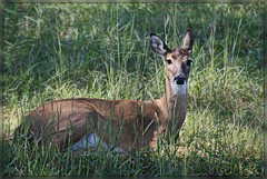 ~sunlight~ (itsjustme1340-Ress) Tags: sunlight doe deer protected abeauty barxranch flickrstruereflection1 welovespottingthem enjoyanewweek