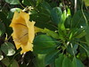 Golden chalice vine (igomak) Tags: brisbane yellowflower toowong solanaceae solandramaxima cupofgoldvine olympuse30