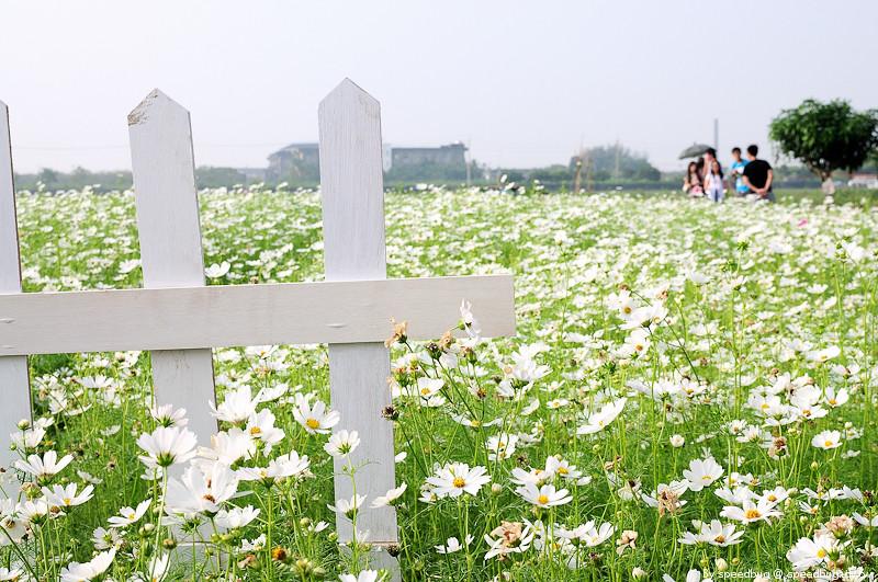 橋頭花海 (40)