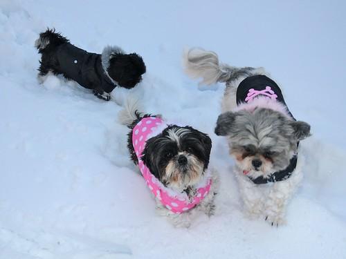 雪とシーズー