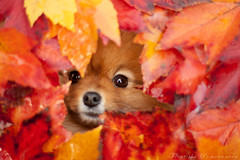 my little leaf elf (Pomaroo) Tags: autumn dog fall leaves canon colorful outdoor peekaboo naturallight foliage elf pomeranian flint imp brightred rawvsjpeg t1i