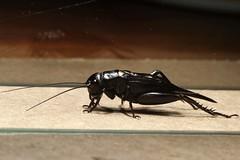Cricket (mgrimm82) Tags: bug insect tanzania cricket grille orthoptera animalia arthropoda ensifera crickets insecta pterygota gryllidae grylloidea taxonomy:class=insecta taxonomy:kingdom=animalia taxonomy:phylum=arthropoda taxonomy:subclass=pterygota taxonomy:order=orthoptera taxonomy:suborder=ensifera taxonomy:family=gryllidae haydom truecrickets taxonomy:superfamily=grylloidea areinga grillosverdaderos taxonomy:common=crickets taxonomy:common=areinga taxonomy:common=truecrickets taxonomy:common=grillosverdaderos inaturalist:observation=615316