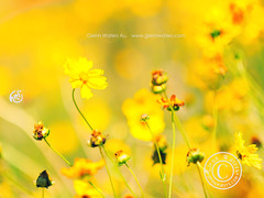 Yellow Flowers.   4,000 visits to this photo. Thank you. (Glenn Waters in Japan.) Tags: australia getty yellowflowers  d700 nikond700  glennwaters