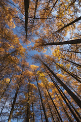 Larch in Autumn (camillaskye) Tags: autumn trees orange fall up yellow angle wide wideangle 20mm nikkor larch upwards 2035mmf28d nikon2035mmf28d 203528ifd