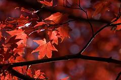 Drama (Light Echoes) Tags: autumn red tree fall maple nikon pennsylvania japanesemaple redmaple 2011 d90 dmk