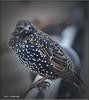 STARLING (Shaun's Wildlife Photography) Tags: birds shaund
