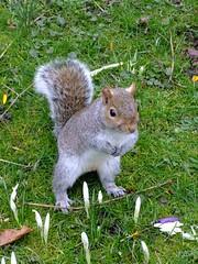 Grey Squirrel Hyde Park (Martin D Stitchener PiccAddo Photography) Tags: park sculpture london statue gardens photography photo flickr peterpan peter pan kensington greysquirrel peterpanstatue twitter gardenshyde kensingtonkensington martinstitchener dxhawk