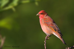The Common Rosefinch (Carpodacus erythrinus) (sharadagrawal931978) Tags: november india bird nature birds canon wildlife sigma os apo common rajasthan udaipur dg the sharad fringillidae carpodacus agrawal 2011 rosefinch erythrinus hsm 40d f563 150500mm ringexcellence