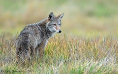 The Hunter (Garebear400) Tags: coyote wild nature wet animal canine nwr ridgefield coth specanimal specanimalphotooftheday coth5 naturesgreenpeace mothernaturesgreenearth amazingwildlifephotography