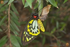 Cairns birdwing (Ornithoptera euphorion) (Stewart Macdonald) Tags: butterfly insect wildlife australia lepidoptera queensland townsville invertebrate afsvrmicronikkor105mmf28gifed arthopoda ornithopteraeuphorion