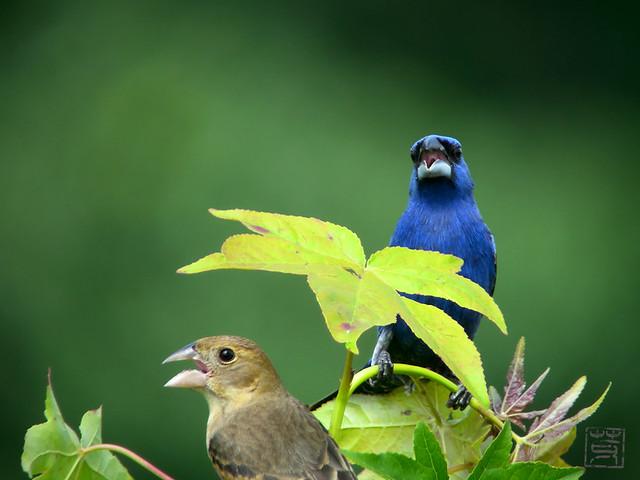 Blue Grosbeak couple, May 2011