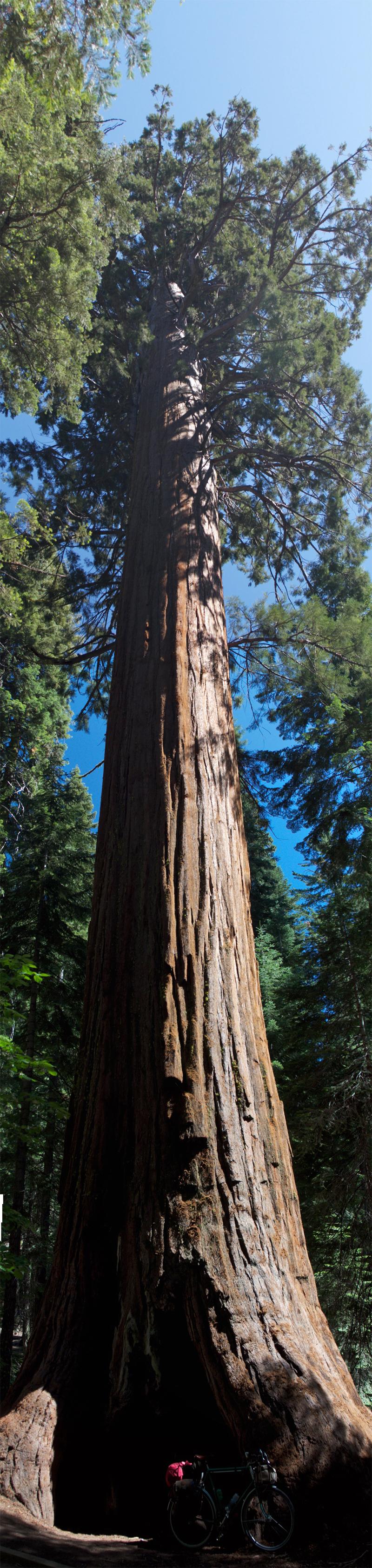 sequoia800