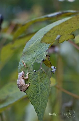 frog bug