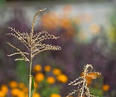 Corn Anthers (aeschylus18917) Tags: flowers flower macro nature grass japan season corn nikon seasons bokeh seeds 日本 花 anthers 105mm 草 105mmf28 200400mm 105mmf28gvrmicro 200400mmf4gvr 季 d700 nikkor105mmf28gvrmicro ダニエル nikond700 danielruyle aeschylus18917 danruyle druyle ルール ダニエルルール 200400mmf40gvr