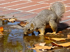 "Drink and reflect – Fox Squirrel (RobertCross1 (off and on)) Tags: california ca reflection cute brick water leaves animal campus puddle losangeles furry squirrel niceshot ripple drinking usc critters paws southerncalifornia 1001nights cotcmostinteresting supershot ""flickraward"" doublyniceshot doubleniceshot tripleniceshot 1001nightsmagiccity ringexcellence dblringexcellence musictomyeyeslevel1 aboveandbeyondlevel1 flickrstruereflection1"