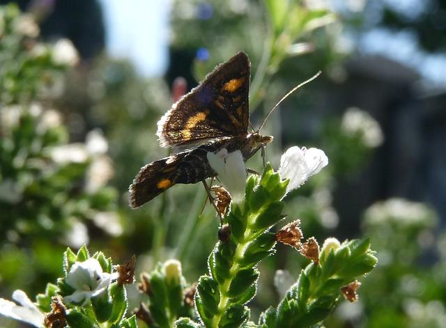 24844 - Mint Moth