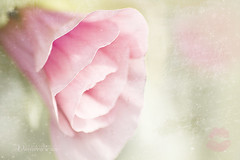 Malope card (Chrisseee) Tags: pink flower green love canon kiss soft dof text lips petal card romantic lipstick hazy textured malope kristiinahillerstrm chrisseee maloppimalopetrifida