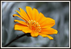 Spring Flowers (W J (Bill) Harrison) Tags: orange flower macro nature petals picnik canoneos50d awesomeblossoms wjbillharrison