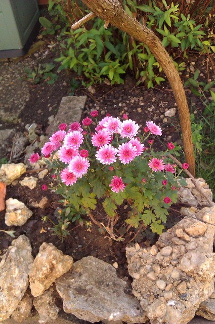 A chrysanthemum plant displaying pink flowers