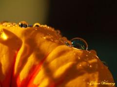 Herbstfarben1 (diwe39) Tags: wassertropfen