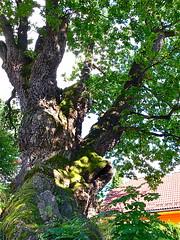 A Giant Oac Tree