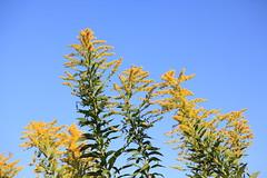 Late Goldenrod / Solidago altissima / 背高泡立ち草(セイタカアワダチソウ)