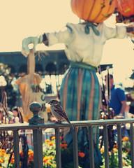 Happy Fence Friday! (Bhamgal) Tags: bird fall fence pumpkin orlando mainstreet iron florida scarecrow disneyworld magickingdom fencefriday myfirsttriptodisneyworld sohappymymeetingisover