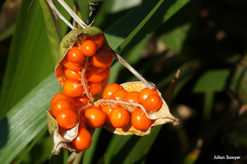 Stinking Iris by julian sawyer