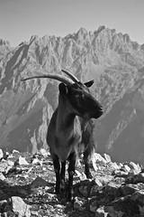 (Garfuna) Tags: mountain de europa goat asturias montaa cabra picos picosdeeuropa asturies cabrones cornion torrecerredo jultayu macizocentral d3100