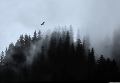20110614_09 Bird of prey over foggy forested mountain | Disentis/Mustr, Switzerland (ratexla) Tags: travel blue vacation favorite mist mountain holiday black mountains alps travelling bird monochrome beautiful berg birds animal animals fog forest photoshop landscape schweiz switzerland flying europe earth hill backpacking journey skog traveling thealps soaring epic ornithology interrail animalplanet semester interrailing tellus fgel nonhumananimals 2011 eurail rhtischebahn tgluff alperna rovfgel disentismustr europaeuropean almostanything inagallery nonhumananimal tgluffning cmwd cmwdblue tgluffa unlimitedphotos enbrabild canonpowershotsx10is eurailing 14jun2011 photophotospicturepicturesimageimagesfotofotonbildbilder notintheeternityset ratexlasinterrailtrip2011 resaresor tgresatgresor