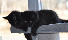 Just two now (Cats 99) Tags: rescue black kittens tango levi