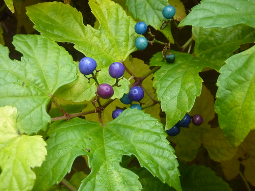 Porcelain Berry vine berries