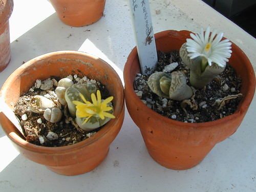 white and yellow flowering Lithops by Jane Young