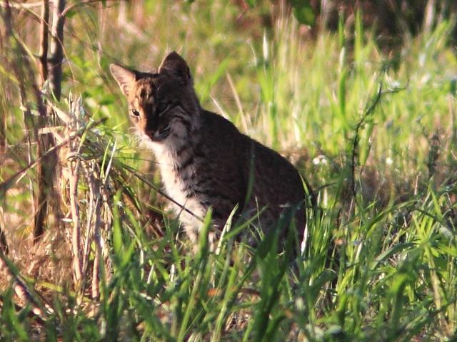 Bobcat cub 4-20111103