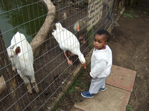 Thanda Looking At The Animals