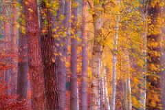 the beauty of a mixed forest (Sandra Bartocha) Tags: autumn fall forest herbst pines birches kiefern beeches buchen laubfrbung fallcolour birken mritznationalpark mixedforest mischwald