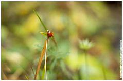 marieta (kenaprenguis) Tags: david green forest bosque ladybird aigestortes mariquita pirineu estany marieta aneu oliete davidoliete kenaprenguis gunigueta