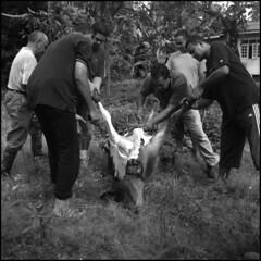 Aidiladha 2011 (fuadabd) Tags: mediumformat muslim kodakt400cn terengganu aidiladha yashicalm rayahaji qurban blackandwhitefilmphotography