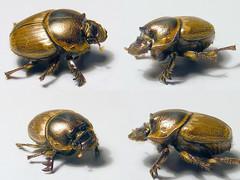 Scarabaeidae Scarabaeinae>Digitonthophagus gazella Dung Beetle Female 5b0002comp (Bill & Mark Bell) Tags: exmouth westernaustralia australia geo:town=exmouth geo:state=westernaustralia geo:country=australia geo:lon=11425453egeolat2217752sgeoalt8m 11425453e2217752salt8m taxonomy:kingdom=animalia animalia taxonomy:phylum=arthropoda arthropoda taxonomy:class=insecta insecta taxonomy:order=coleoptera coleoptera taxonomy:family=scarabaeidae scarabaeidae taxonomy:genus=digitonthophagus digitonthophagus gazella taxonomybinomialnamedigitonthophagusgazella digitonthophagusgazella taxonomycommonnamedungbeetle dungbeetle insect beetle